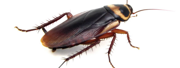 Image of common cockroach we deal with very often. We can identify the source of the infestation at a property and eradicate them.