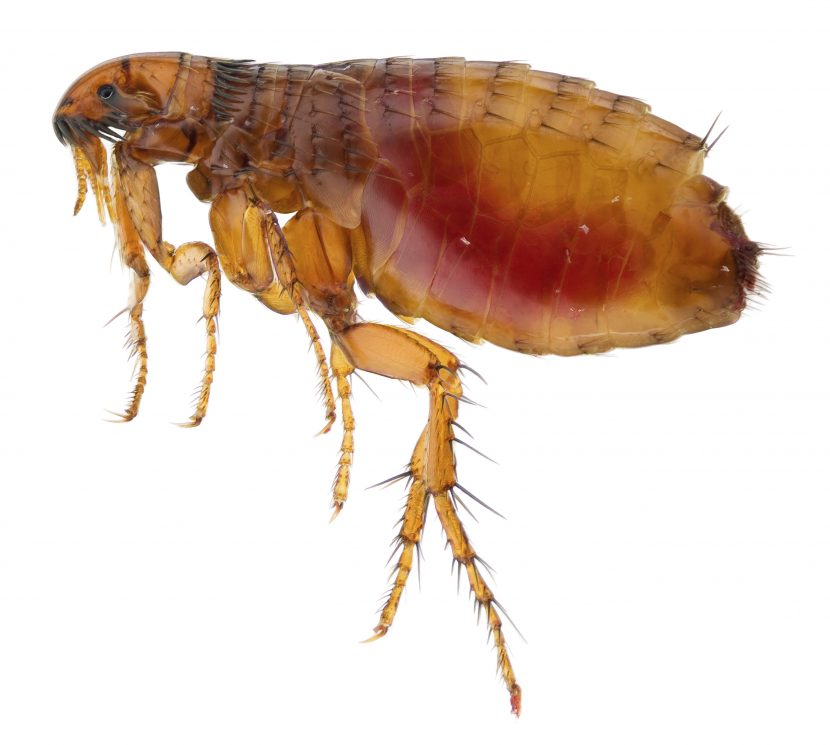 Image of common flea that annoys pets and can ingest houses