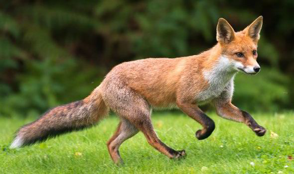 Photo of urban fox who an be a serious and dangerous pest to homeowners and their children.