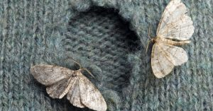 Image of moths eating holes into woolen clothing